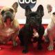 Perros bulldog frances Lady Gaga